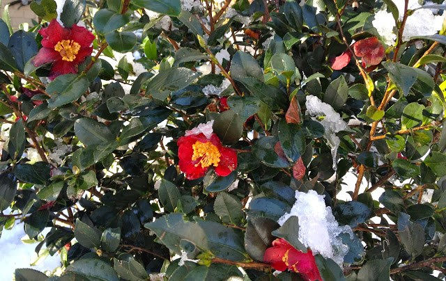 Camellias ~ A Southern Beauty