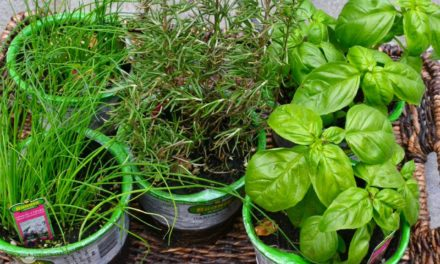 Planting Herbs