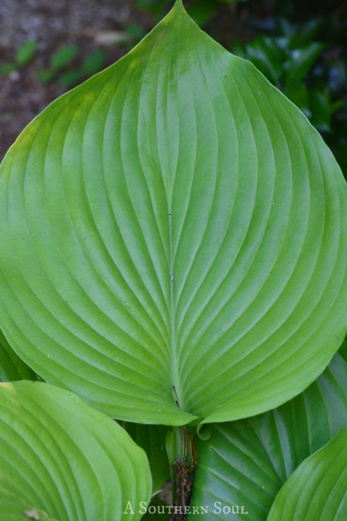 single leaf green Hosta