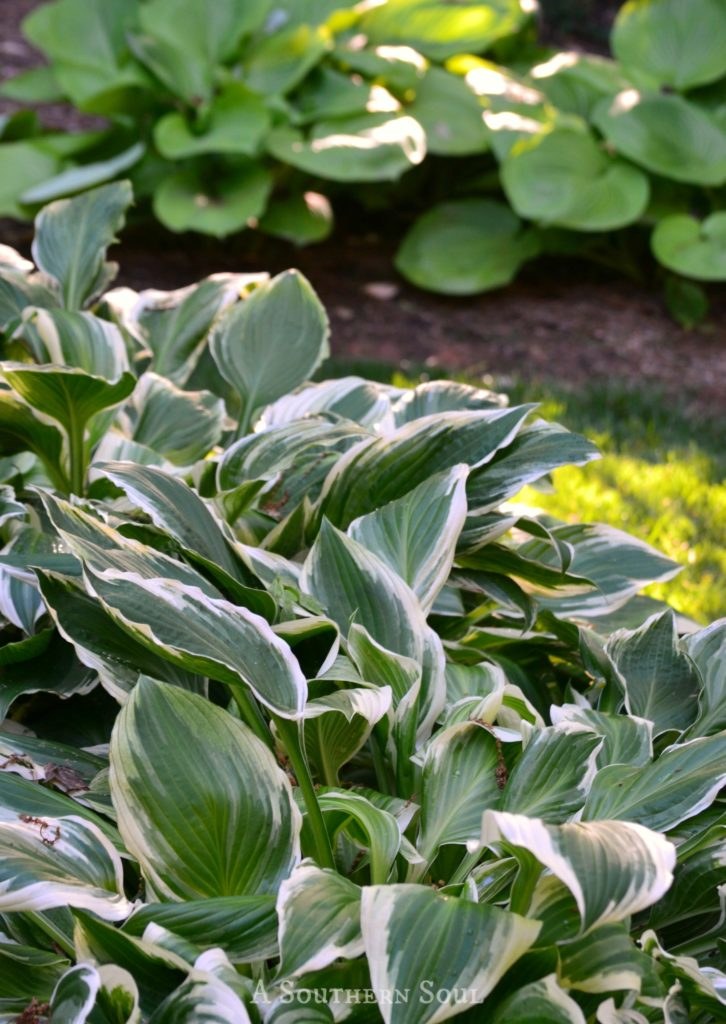 green and white Hosta with big leaf